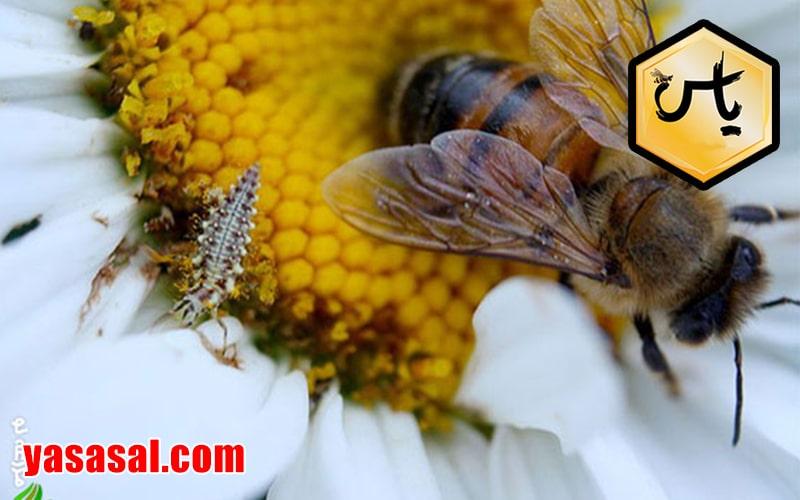 قیمت گرده گل عسل اصل