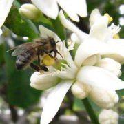 قیمت عسل عسل بهار نارنج طبیعی