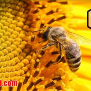 عسل تک نفره